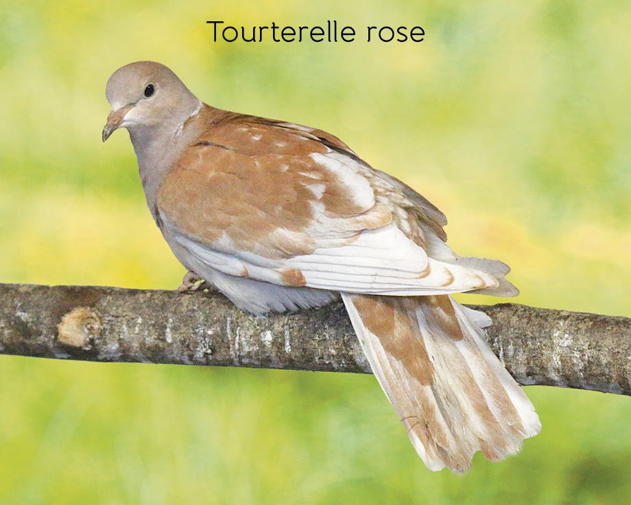 Tourterelle