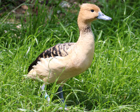 Dendrocygne blond