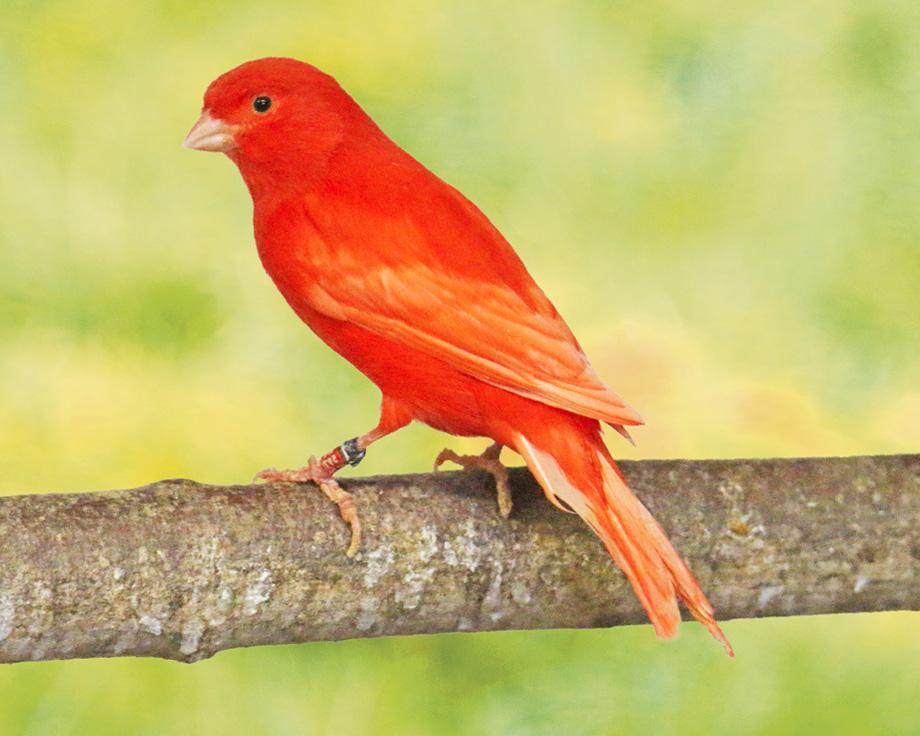 Canaris rouge