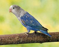 Inséparable Fisher bleu, le mâle