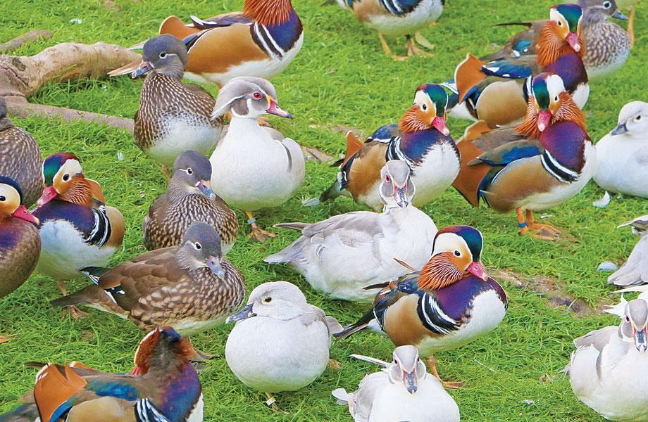 Promotions de l'élevage : les canards