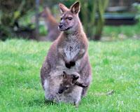 Kangourou de Benett