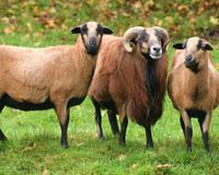 Mouton du Cameroun