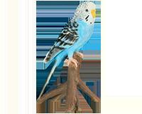Perruche ondulée bleue en résine