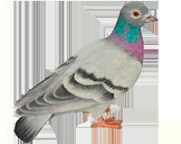 Pigeon en résine