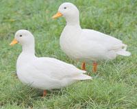 Canard mignon blanc