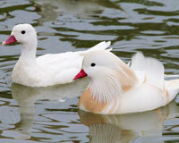 MANDARIN ALBINOS, le couple
