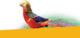 Faisans volailles et oiseaux, promotions de l'élevage