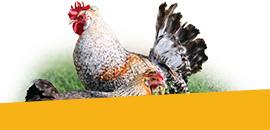 Poules, promotions de l'élevage