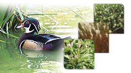 Plantes oies et canards