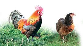 Les poules demi-naines