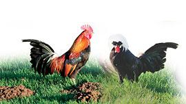 Les poules naines