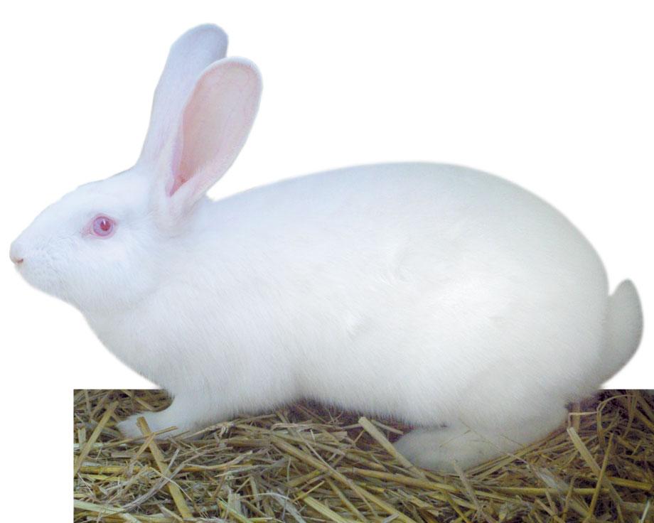 Préférence Lapin blanc de Bouscat : la Ferme de Beaumont, Les lapins WQ01