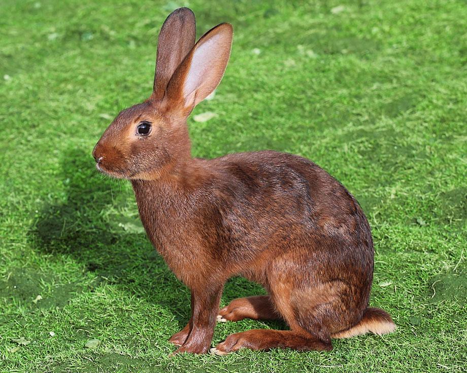 Préférence Lapin lièvre belge : la Ferme de Beaumont, Les lapins WQ01