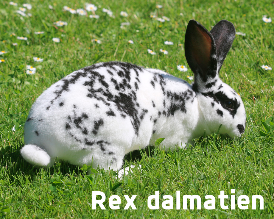 Lapin Rex
