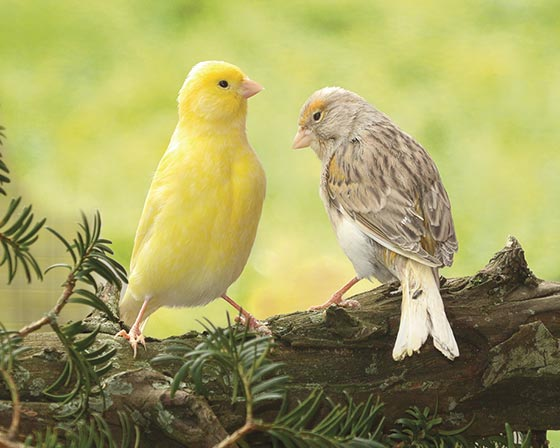Canaris mix couleurs la ferme de beaumont les becs droits for Oiseau par la couleur