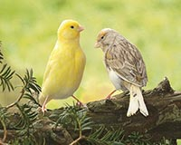Canaris mix couleurs