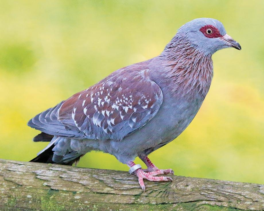 oiseaux exotique a vendre by oiseaux exotique a vendre pigeon de guine pigeon. Black Bedroom Furniture Sets. Home Design Ideas