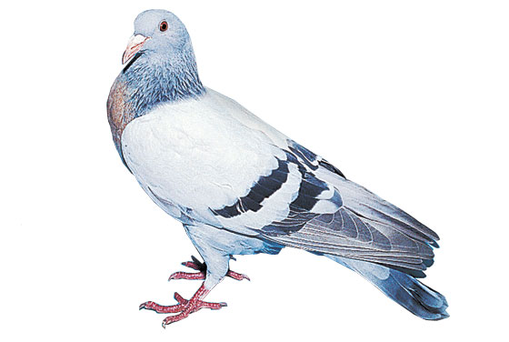 Pigeon alouette de Cobourg