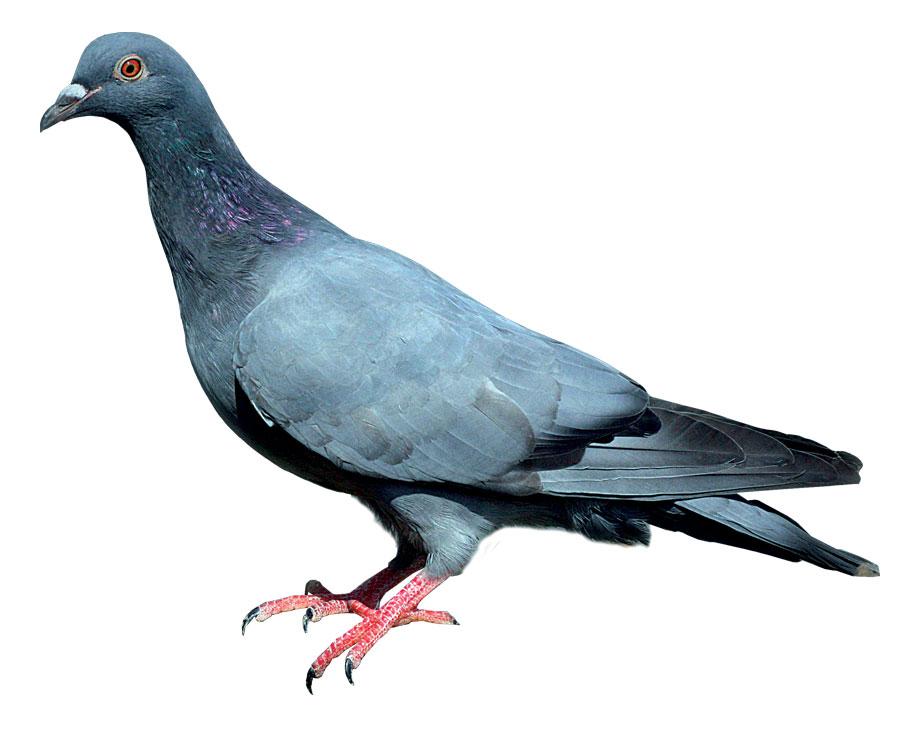 Pigeon Bleu de Gascogne