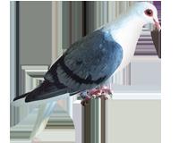 Pigeon bouclier de velour