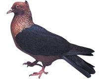 Pigeon Bouvreuil