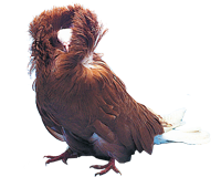Pigeon capucin � grande capuche