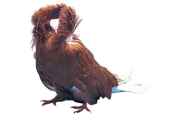 Pigeon capucin à grande capuche