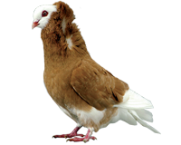 PIGEON CAPUCIN PETITE CAPUCHE, le mâle