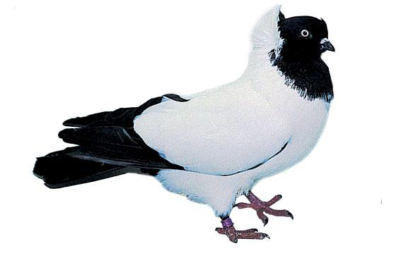 Pigeon Coquillé hollandais