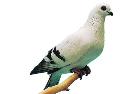Pigeon Damas