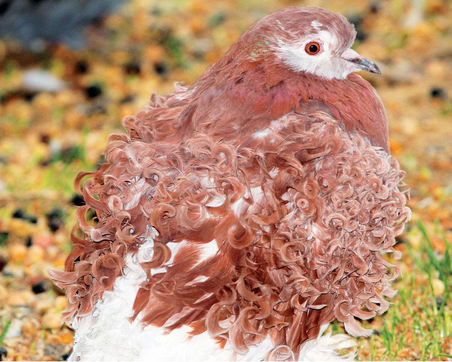 Pigeon frisé