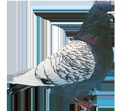 PIGEON LYNX DE POLOGNE, le mâle