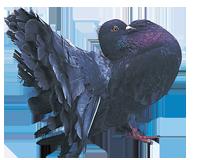 Pigeon paon bleu