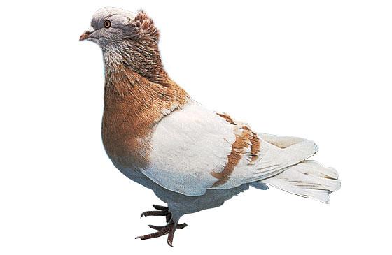 Pigeon Sotto Banca