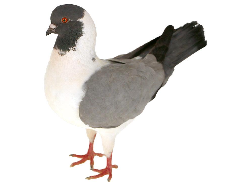 Pigeon Triganini