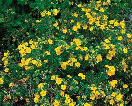 Potentille arbustive 'Kobold', les 3 pots