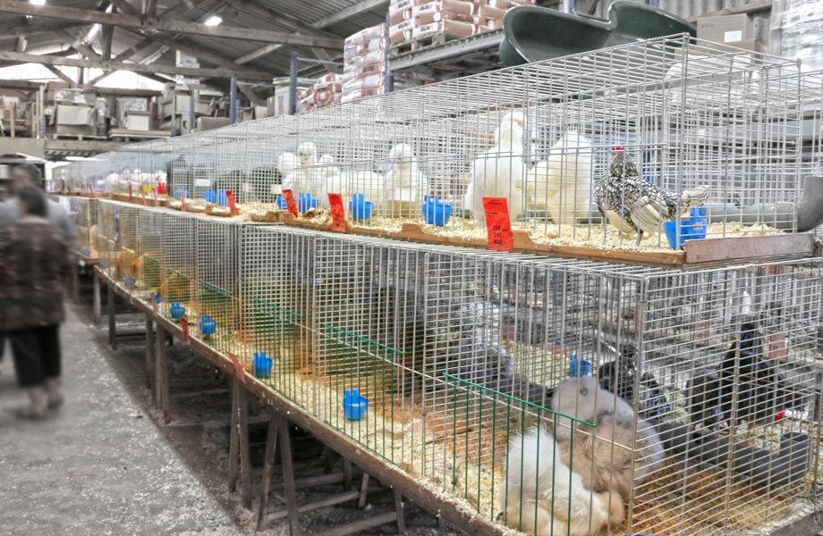 Salle d'exposition 100% poules !