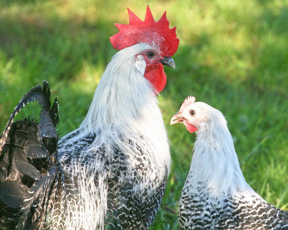 Braekel argente la ferme de beaumont les poules demi naine - Ferme de beaumont poule ...