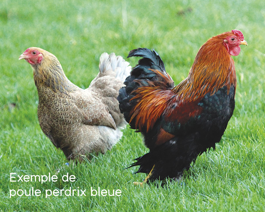 Brahma perdrix naine la ferme de beaumont les poules demi n - Ferme de beaumont poule ...
