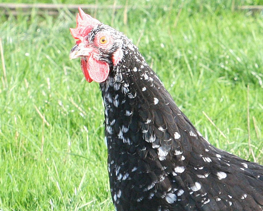 Gournay la ferme de beaumont les poules demi naines for Race poule d ornement