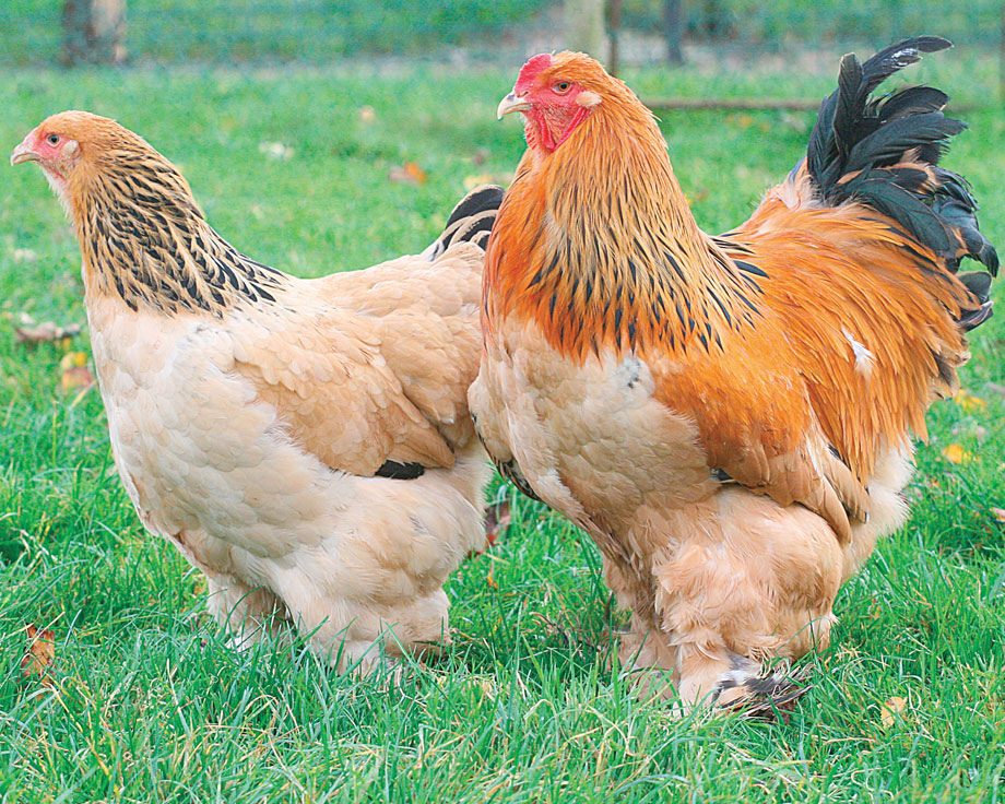 poule brahma reproduction