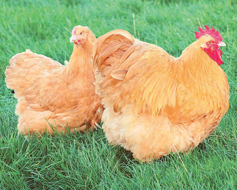 poule soie ferme de beaumont
