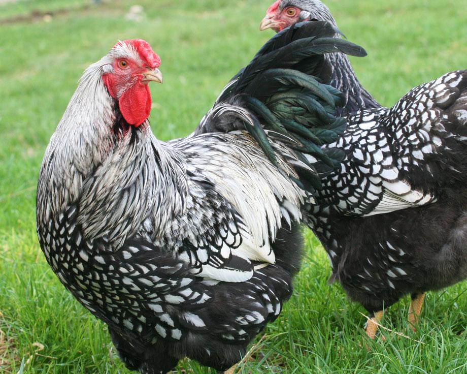 wyandotte caille grande la ferme de beaumont les poules