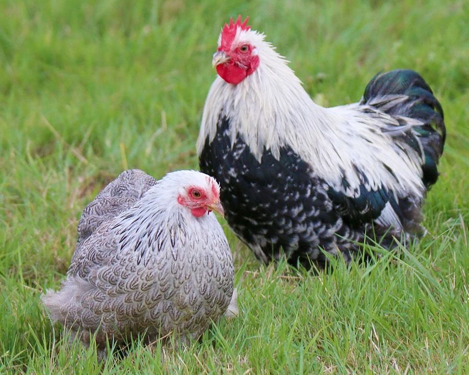 Bantam de p kin argent e coq et poule de race la ferme - Photos poules rigolotes ...