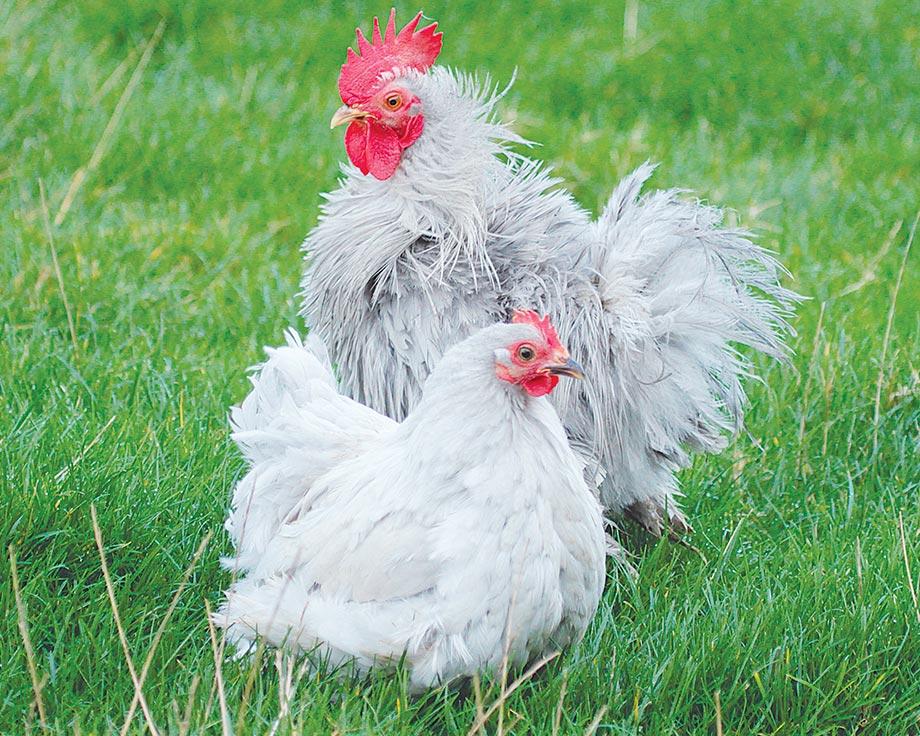 Bantam de pkin porcelaine la ferme de beaumont les for Races de poules naines