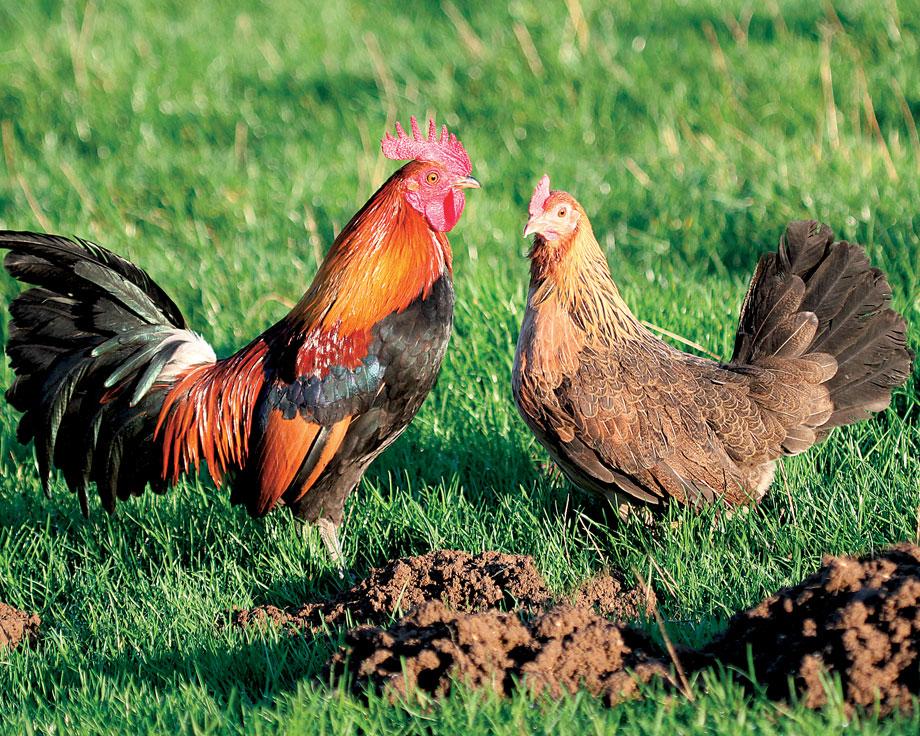 Ardennaise dore coqs et poules de race la ferme de for Race de poules naines