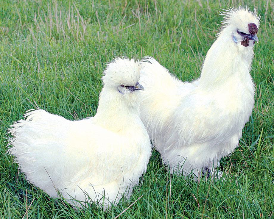 poule soie barbue blanche