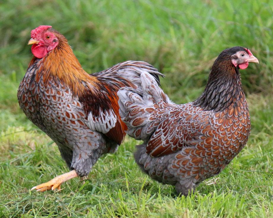 Wyandotte dor liser bleu naine la ferme de beaumont les for Race de poules naines